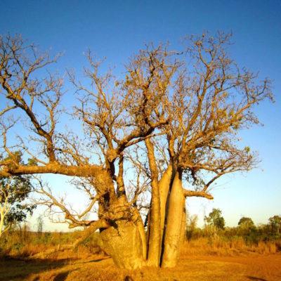 Adventure Wild Kimberley Tours Durack Boab Tree.